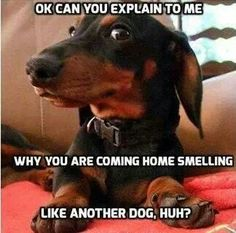 Don't be jealous, it was a puppy!  #dogs #pets #Dachshunds Facebook.com/sodoggonefunny