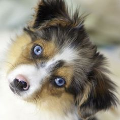 """Native Americans called Australian Shepherds """"ghost eye"""" and believed them to be sacred. Australian Shepherd Names, Blue German Shepherd, Weimaraner Puppies, Corgi Puppies, Great Dane Puppy, Black Lab Puppies, Different Dogs, Teacup Puppies, Equine Photography"""