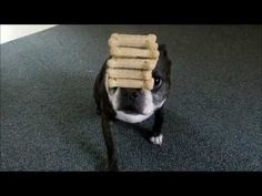 Amazing #Dog Holding 7 Bone Treats on his Nose!! - Watch the Video here → http://www.bterrier.com/?p=2487 - https://www.facebook.com/bterrierdogs
