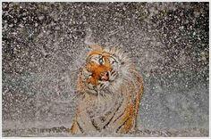 Tiger shake