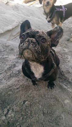 French Bulldog at the Beach
