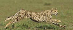 """International Cheetah Day Is December 4th """"The cheetah's situation is dire"""""""
