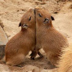 Capybara Babies http://ift.tt/2ymJjbG