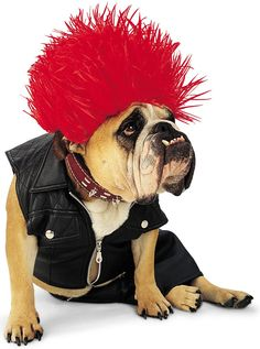 If I had a bulldog. This would be the halloween costume for sure