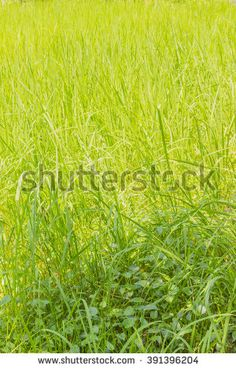 Young rice field, Thailand - stock photo