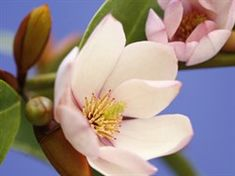 Fairy Magnolia BLUSH