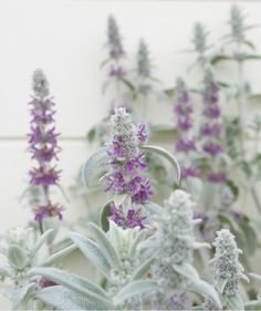 Lamb's Ear (Stachys byzantina) | Two experts share their favorite drought-tolerant plants that will make your life easier (and help you save water)!