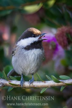 Chestnut-backed Chickadee is found in the Pacific NW of the US and western Canada, from southern Alaska to SW California