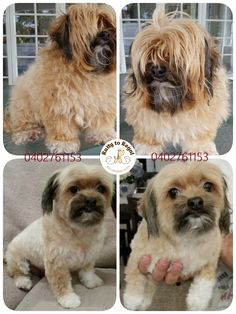 Lily, 3 years young, maltese x chihuahua x lhasa apso. Full Groom + De-matting Service Web: https://rattytoregal.wixsite.com/rattytoregal Facebook: https://www.facebook.com/rattytoregal/