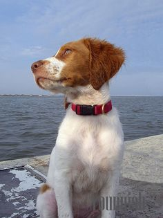 Brittany Spaniel Dog Breed Info http://tipsfordogs.info/90dogtrainingtips/