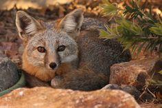 Grey Fox by lars hammar