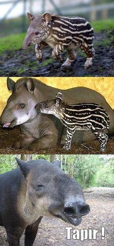 Tapir ownz !