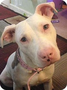 Pictures of Nutmeg a Pit Bull Terrier for adoption in Dallas, GA who needs a loving home.