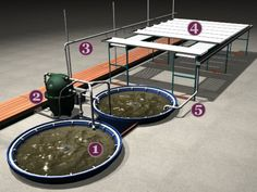 Aquaponics Systems | Carbon Harvest Energy    1. Fish rearing tanks   2. Bio-filter traps solids; microorganisms convert fish waste to plant nutrients   3. Hydroponic feed line delivers nutrient-rich water to plants   4. Grow trays are flooded and drained; plants take up nutrients   5. Return line delivers clear water to fish tanks creating a closed-loop (no wastewater discharge)