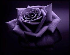 Purple Rose!