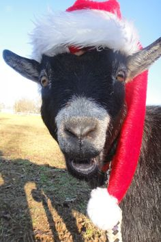 Christmas in July came a little early! Christmas In July, Goats, Animals, Animales, Animaux, Animal, Animais, Goat