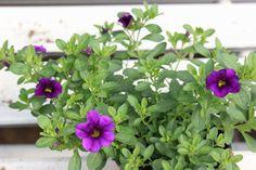 Japaninkello 'Calita Dark Blue' Dark Blue, Plants, Deep Blue, Plant, Planets