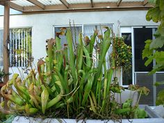 Brokken's Mini-bogs (Picture Intensive!) | International Carnivorous Plant Society