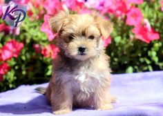 Andi – Morkie Puppy  #morkie