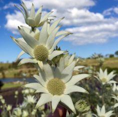 The Australian Botanic Garden ( Mount Annan, Flannel Flower, Native Plants, Botanical Gardens, Flora, Succulents, Twitter, Succulent Plants