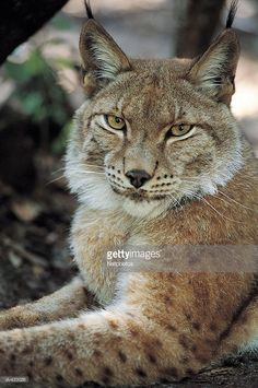 Stock Photo : Lynx also known as Bobcat or Wildcat (Lynx rufus)