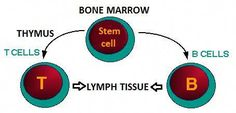 Drawing showing that stem cells in the bone marrow can become either t-cells or b-cells Cord Blood Banking, B Cell, Bone Marrow, Blood Test, Microbiology, Stem Cells, Science, Drawing, Wellness