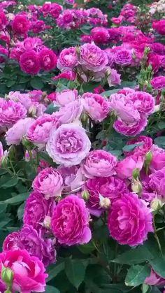 Beautiful Flowers Images, Beautiful Flowers Garden, Flower Images, Flower Pictures, Beautiful Roses, Pretty Flowers, Flowers Nature, Easy Flower Painting, Acrylic Painting Flowers