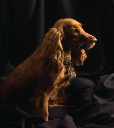 Beautiful Cocker Spaniel...  Click on this image to find even more beautiful #Cocker Spaniel pictures