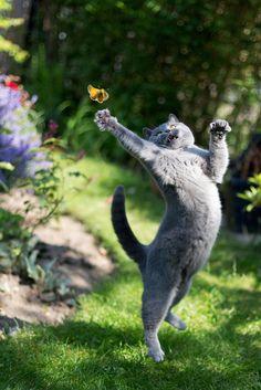 chat chartreux chasse papillon