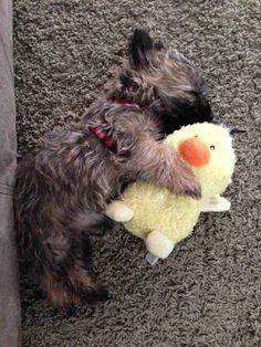 And this little dude snuggling his ducky. 39 Adorable Pictures You Need To Stop And Look At Right This Second Cute Animal Pictures, Dog Pictures, Adorable Pictures, Cute Puppies, Cute Dogs, Dogs And Puppies, Border Terrier, Cairns, Cairn Terrier Puppies