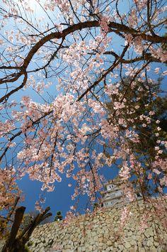 Himeji Castle, Hyogo, Japan 姫路城の桜