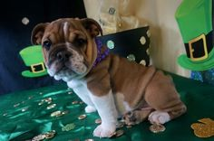 Tandy is available!!!! Call/text 606-524-5758  pottersbulldogs.net @pottersbulldogs on instagram