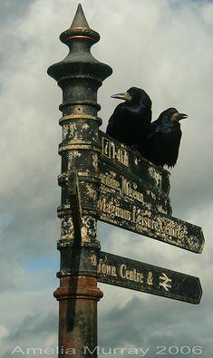 Ok, you go dat way, I'll go dis way, k? Crows on a sign in Irvine, Scotland