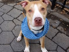 DSC06776 MALE, RED, AM PIT BULL TER MIX, 6 mos STRAY – STRAY WAIT, NO HOLD Reason STRAY...PROMETHEUS – A1067268