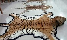 Tiger pelts  Tigers are easily recognisable, and heavily poached. 90% of the tiger population has disappeared over the last century and all tiger species are now considered endangered, primarily due to a demand for their pelts, meat and other body parts. Originally there were nine subspecies of tigers, but over the last 80 years three have become completely extinct. The remaining six species of tigers are all considered endangered or critically endangered.