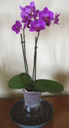Phalaenopsis - Orchidee - Tecniche di coltivazione e principali specie dell'Orchidea Phalaenopsis