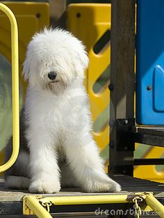This Old English Sheepdog is exquisite. It's front is perfectly white and the body is beautiful grey with white socks. Wow.