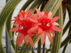 Image result for hildewintera aureispina
