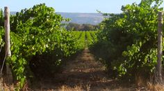 Barossa Valley vs Mclaren Vale: Two Wine Regions Seen Two Different Ways (With Video)