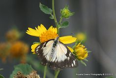 butterfly3 Moth, Dandelion, Insects, Flowers, Plants, Photography, Animals, Photograph, Animales
