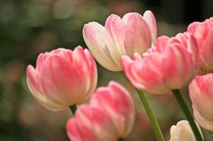 Beautiful pink tulips flower picture