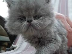 Jasmine is an adoptable Persian Cat in Woodlawn, TN. Gorgeous exotic shorthair kittens rescued from a breeder who became overwhelmed and surrendered ALL of her cats to our veterinarian. www.willyshapp...