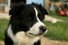 Laddy, a 7-year-old border collie who was missing for two days, was found 10 feet up a tree. The owner suspects he was up a tree do to his favorite hobby of chasing squirrels.