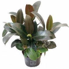 Fönsterfikus - Ficus elastica