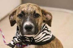 NAME: Sophia  ANIMAL ID: 28520881  BREED: American pit mix  SEX: female  EST. AGE: 4 mos  Est Weight: 29 lbs  Health:   Temperament: dog friendly, people friendly  ADDITIONAL INFO:  RESCUE PULL FEE:$49  Intake date: 7/7