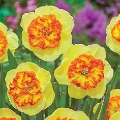 Large Cupped Daffodil Berlin | K. Van Bourgondiens