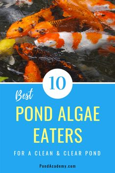 Looking to naturally clear your pond of algae? These pond algae eaters will help control harmful algae and leave your pond looking clean and clear! Outdoor Fish Ponds, Fish Ponds Backyard, Backyard Water Feature, Garden Ponds, Koi Ponds, Backyard Waterfalls, Indoor Pond, Pond Algae, Pond Plants