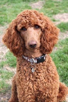 Solo's Fergie Loves A Cowboy - Fergie - Oh, what a face!!! (Standard Poodle Love)