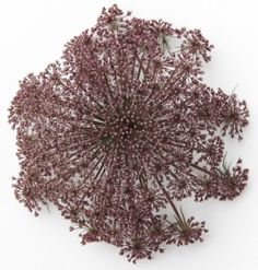 Chocolate Queen Anne's Lace From Ocean View Flowers