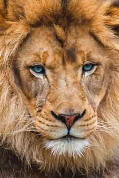 Lion By Sergey Bidun